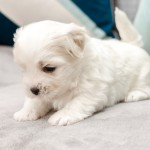 chiot-coton-tulear-7609-small