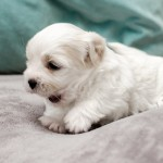 chiot-coton-tulear-7636-small