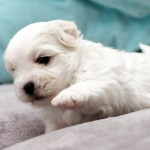 chiot-coton-tulear-7643-small