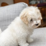 chiot-coton-tulear-7827-small