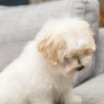 chiot-coton-tulear-7831-small