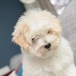 chiot-coton-tulear-7832-small