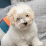 chiot-coton-tulear-7834-small