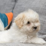 chiot-coton-tulear-7837-small