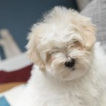 chiot-coton-tulear-7839-small